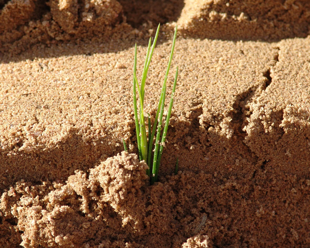 Just-Rooibos rooibos tea seeding growing in soil